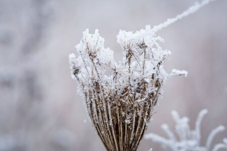 frost winter: Hoarfrost on the winter bushes Stock Photo