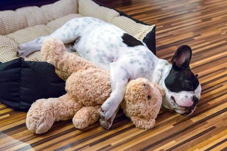 oso blanco: Cachorro de bulldog francés duerme con el oso de peluche