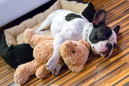 French bulldog puppy sleeping with teddy bear
