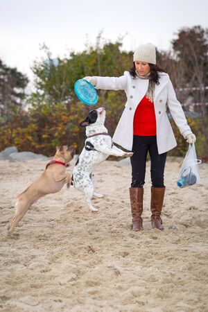 flying disc: French bulldogs jumping for flying disc