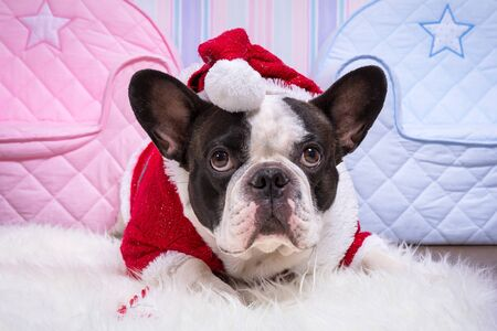 christmas costume: French bulldog in santa helper costume for Christmas