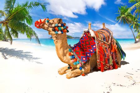 Camel ride on the tropical beach
