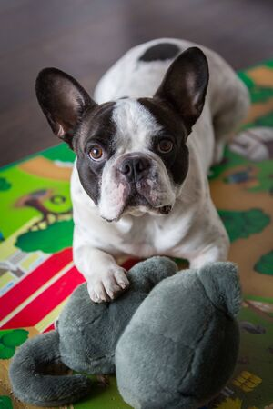 French bulldog lying on the floor with maskot Stock Photo - 76033769