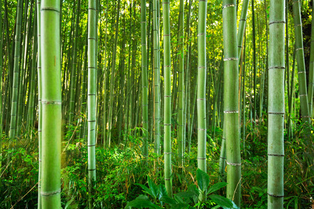 Bamboo forest of Arashiyama near Kyoto, Japan Stock fotó - 81927452