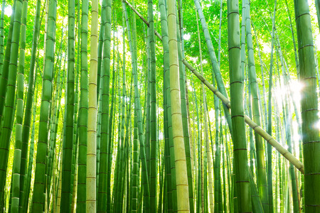 Bamboo forest of Arashiyama near Kyoto, Japan
