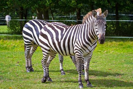 Zebra on grassland in the park Stock Photo