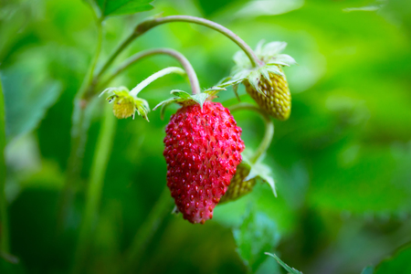 Wild strawberries close up in the garden Stock Photo