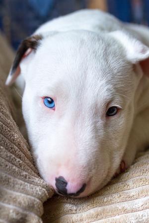 Bullterrier puppy on the sofa