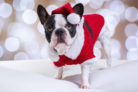 Bulldog francés posando en traje de santa para Navidad