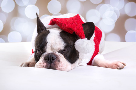 French bulldog posing in santa outfit for Christmas Stock Photo