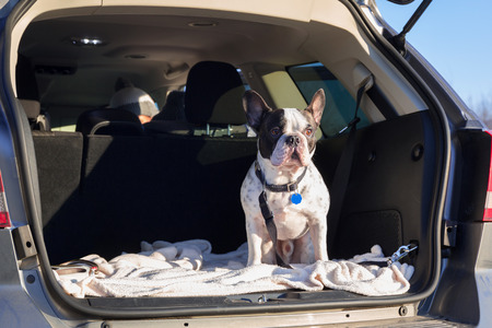 French bulldog traveling in the car trunk