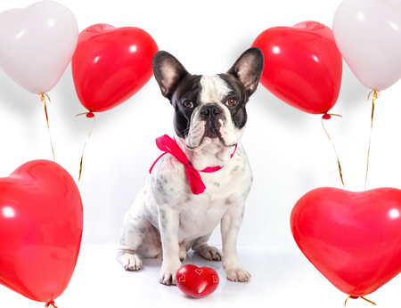 Cute french bulldog with heart shape balloons for valentines Foto de archivo