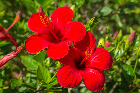 Hibiscus flowers on the bush in Egypt 스톡 콘텐츠