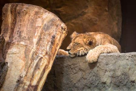 Baby lion sleeps on the rock