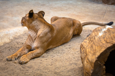 Lion female lying on the rocky ground