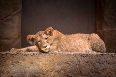 Cute baby lion lying on the rock Stock Photo