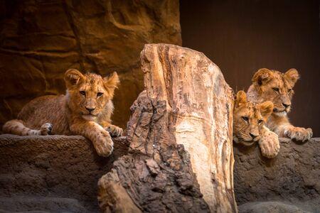 Three cute baby lions portrait