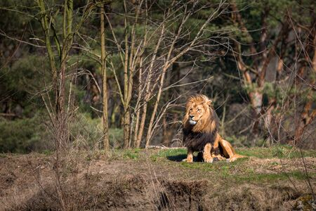 Male lion lying down in the forest