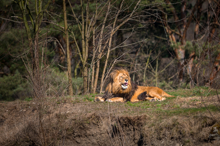 Male lion lying in the forest
