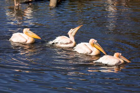 Great white pelicans in wildlife
