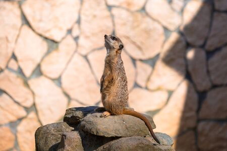 Curious meerkat in the zoo Stock Photo