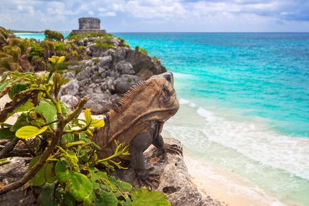 Iguana sitting at the beach of Tulum, Mexico