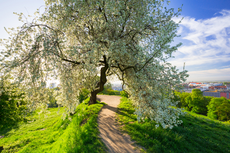 Blossom apple tree in the city center of Gdansk at sunrise, Poland Stock Photo