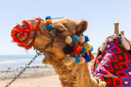 Camel on the beach of Hurghada, Egypt