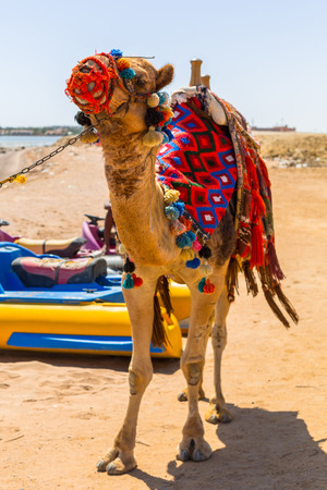 Camel on the beach of Red Sea in Egypt