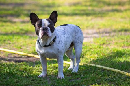 French bulldog in the garden Stock Photo