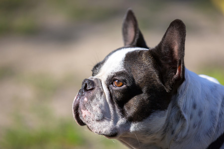 Portrait of black and white french bulldog