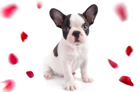 French bulldog puppy with falling rose petals