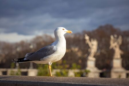 Seagull siting at the Saint Angel bridge in Rome, Italy