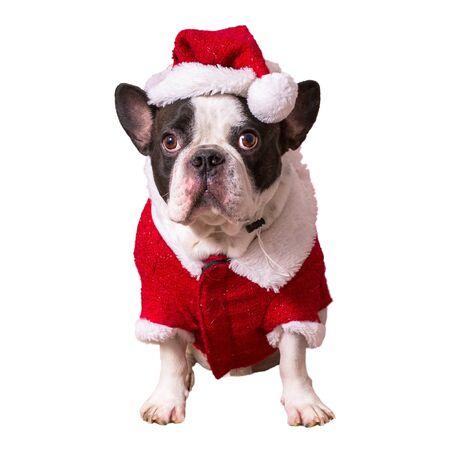 French bulldog posing in santa costume for christmas