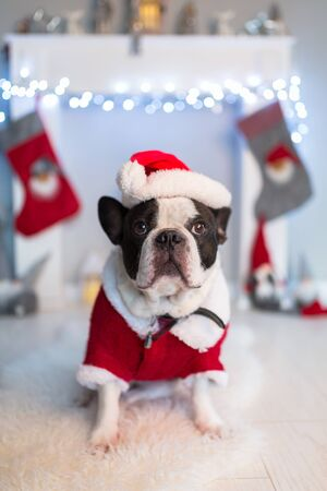 French bulldog in santa costume is sitting on the floor at the fireplace with christmas decorations