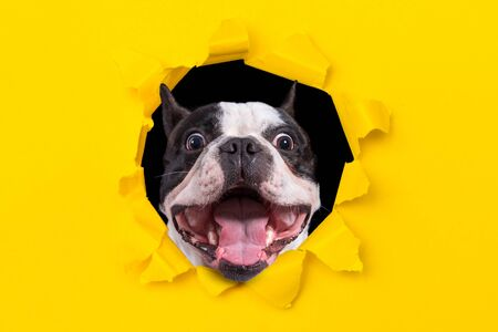 Funny french bulldog looking from the hole of yellow box