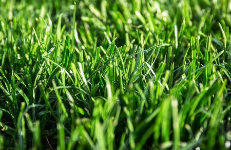 Lush grass in the house garden