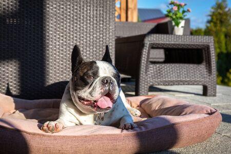 French bulldog lying on the terrace