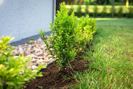 Boxwood bushes planted in the garden