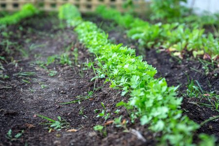 Line of carrots planted in the garden Archivio Fotografico