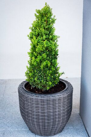 Boxwood bush planted in the flowerpot on the terrace Archivio Fotografico