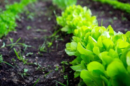 Line of lettuce planted in the garden Archivio Fotografico