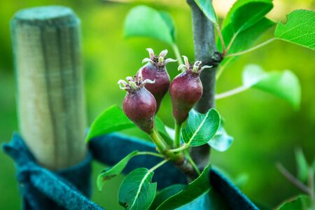 Small pears on the tree in the garden Archivio Fotografico