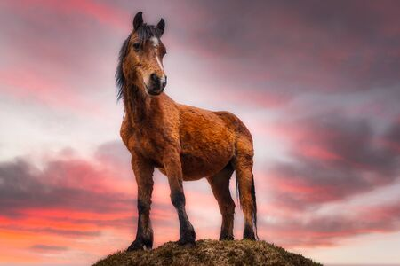 The Connemara pony standing on the hill at sunset