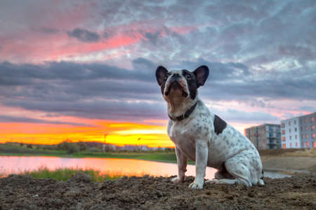 French bulldog sitting at the pond at sunset 版權商用圖片