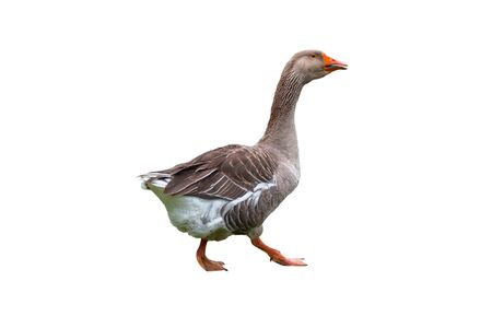 Brown domestic goose isolated on white background