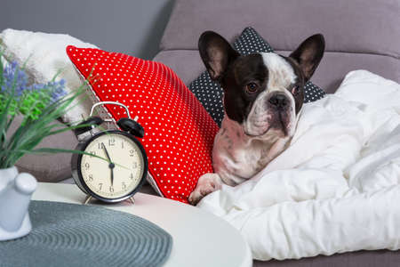 French bulldog waking up by alarm clock in the bed 版權商用圖片