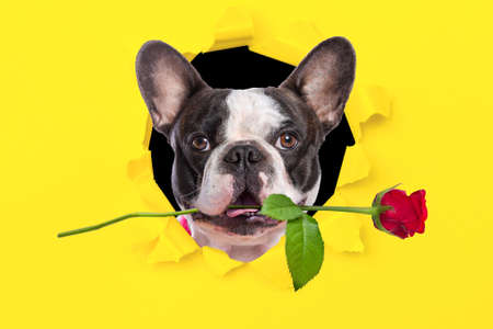 Lovely french bulldog with a red rose looking from the hole of yellow box