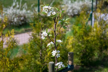 Blossoming apple tree in summer garden