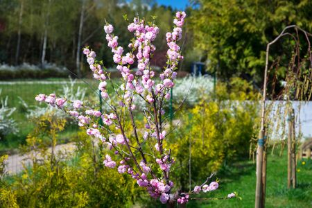 Blossoming flowering almond in summer garden